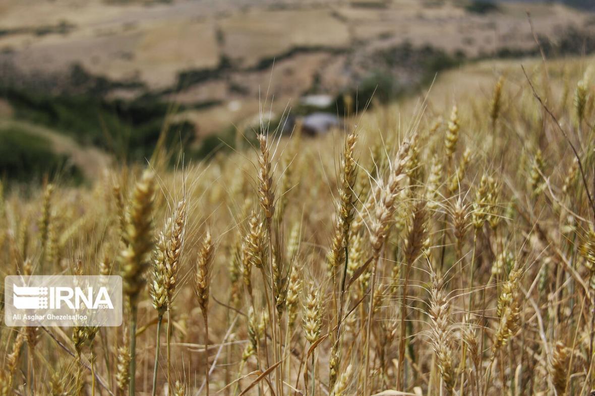 خبرنگاران توزیع روزانه 500 تن بذر گندم در گلستان و چند خبر کوتاه