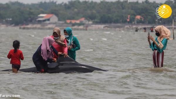 (تصاویر) نجات نهنگ های به گل نشسته در اندونزی