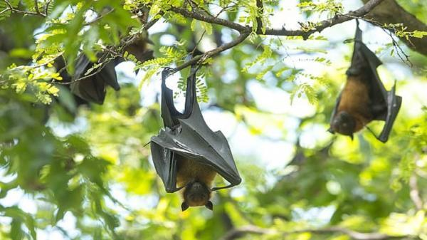 کشف ویروسی مرگبار در خفاش ها