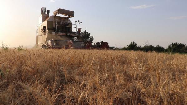 کاهش 60 درصدی برداشت گندم در گناباد